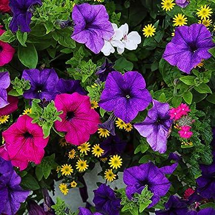Amazon com : 100 pcs Morning Glory Seeds Japan Takii Climbing Flower