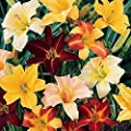 Daylily Bumper Crop Mix - 10 Bare Root Daylily Plants! Mixed Colors! Ships from USA