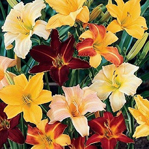 Daylily Plant - 2
