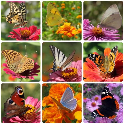 Earthcare Seeds Butterfly Garden Flower Seeds 1000 (Sultan Garden)