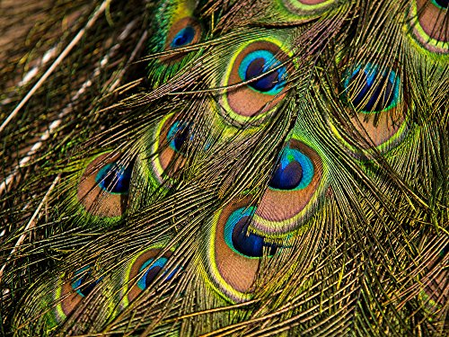 10 Pieces Peacock Feathers | Big Natural Peacock Tail Eye Feathers, 10-12