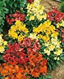 50+ ERYSIMUM CHARITY FLOWER SEEDS MIX / DEER-RESISTANT/ SCENTED / PERENNIAL