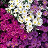 Kings Seeds - Michaelmas - Daisy Nostalgia Mixed - 75 Seeds