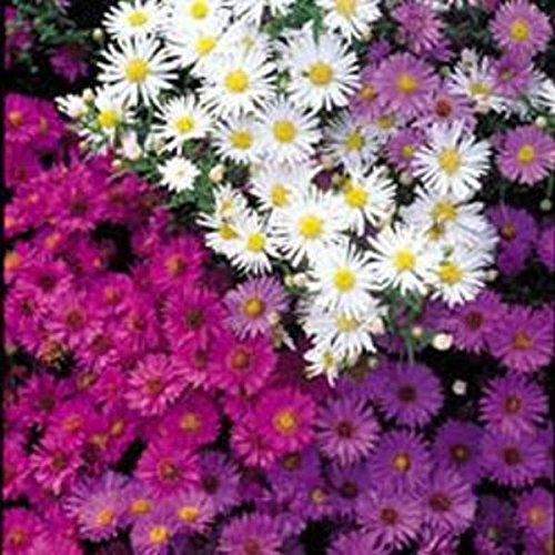 Kings Seeds - Michaelmas - Daisy Nostalgia Mixed - 75 ()