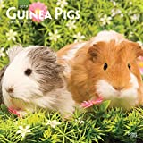 Guinea Pigs 2019 12 x 12 Inch Monthly Square Wall Calendar, Domestic Animals Small Pets