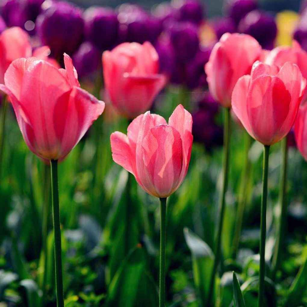 Sunlera 10pcs / bolso Semillas de flor del tulipán Semillas Bonsai Flores para la plantación de las semillas del jardín