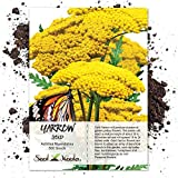 Seed Needs, Gold Yarrow (Achillea filipendulina) 500 Seeds