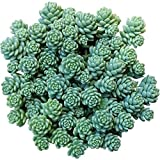 Sedum dasyphyllum Major Corsican Stonecrop (4 inch)