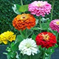 Zinnia California Giant Flower Seeds Mix 1 500 Seeds By Seeds2go