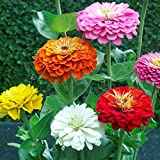 Zinnia - California Giant Flower Seeds Mix - 1,500 Seeds by Seeds2Go