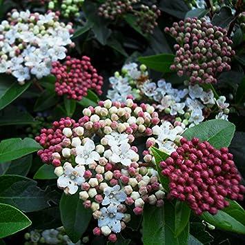 Viburnum tinus \'Quimper\' - Laurier tin bicolore - Viorne persistante ...