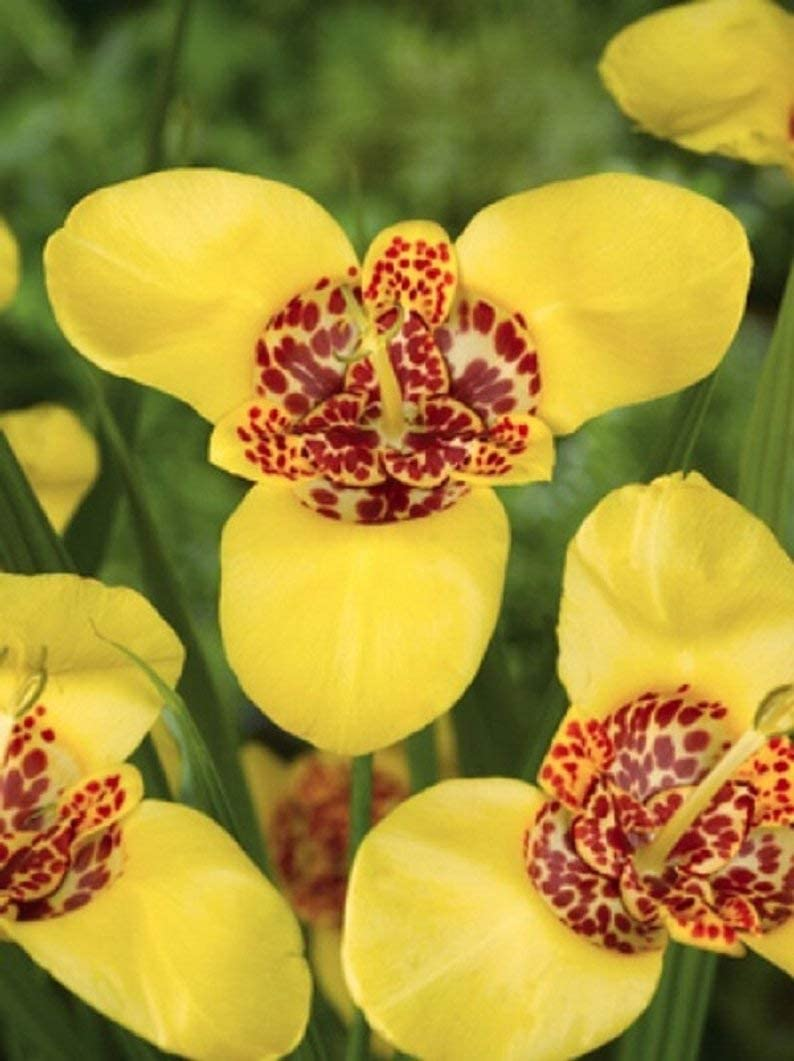 Tigridia Pavonia Multicolour Mix 3 Corms Shell Flower Bulbs Easy Rainbow Kids UK