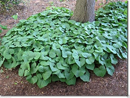 (Wild ginger Seeds AKA Canadian Ginger ,vigorous groundcover, 25 Seeds Perennial.)