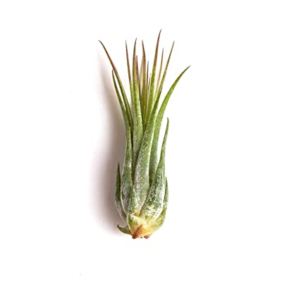 Shop Succulents | Tillandsia Ionantha Scaposa Live Plant, Hand Selected Air Succulents (Small) | Collection of 4, Pack of 4: Garden & Outdoor