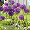 "Bag of of 40 Large Bulbs, 30"" Tall Allium Purple Sensation Bulbs, Hollandicum or Persian Onion ++ Deer Won't Eat"