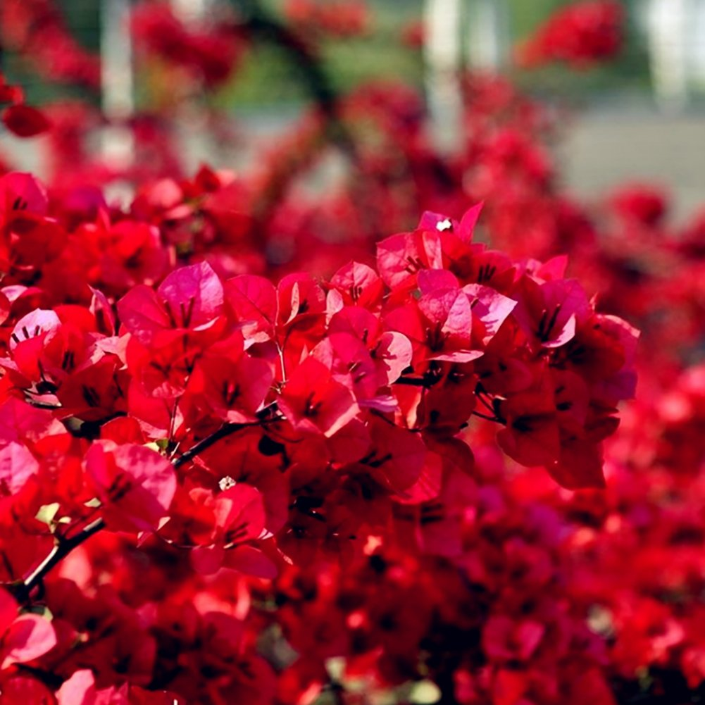 20Pcs Red Bougainvillea Flower Seeds Ornamental Plant Garden Yard Decoration