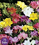 Spring Flower Bulbs, Easy to Grow, 75 bulbs! (Mixed Freesia 75 Bulbs)