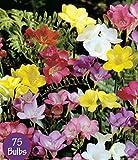 Spring Flower Bulbs, Easy to Grow, 75 bulbs! (Mixed Freesia 75 Bulbs)