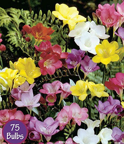 Spring Flower Bulbs, Easy to Grow, 75 bulbs! (Mixed Freesia 75 Bulbs) by Spring