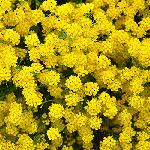 Alyssum Basket Of Gold Seeds   1 Oz   Perennial Flower Garden Seeds   Yellow Blooms   Aurinia Saxatilis