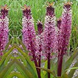 Pink Pineapple Lily Tugela Jewel, 3 Large Eucomis Bulbs - Gorgeous Blooms!