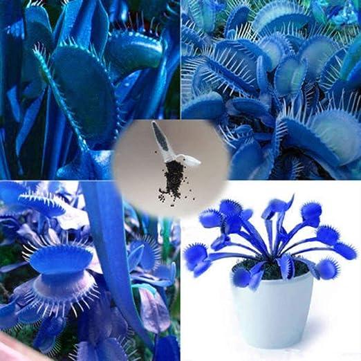 Pets Delite® Trenton 100Pcs Blue Dionaea Muscipula Gigante Venus Flytrap Semillas Plantas de jardÃn: Amazon.es: Jardín