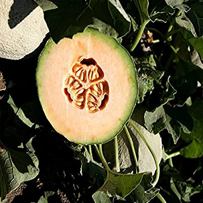 Cantaloupe Melon Garden Seeds - Athena Hybrid - Non-GMO, Vegetable Gardening Seeds - Fruit