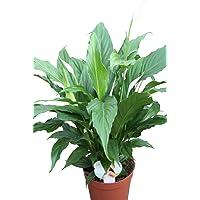 Planta de interior - Planta para la casa o la oficina - Spathyphyllum - LIRIO DE PAZ - 40 cm