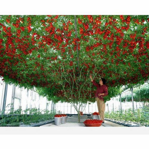 1 Pack, 100 seeds / pack, Perennial Tomato Giant Trees, Outdoor Greenhouse Available, Heirloom Tomato Seeds