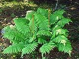 5 CINNAMON FERN rhizome/root-(osmundastrum cinnamomeum)