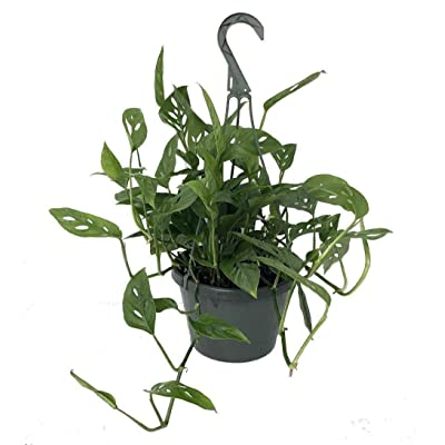 "AchmadAnam - Live Plant Monstera Adansonii Swiss Cheese Easy to Grow Old Favorite 8"" Pot : Garden & Outdoor"