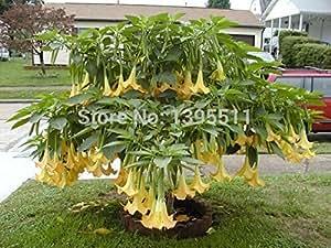 Trompetas bonsai datura semillas semillas de árboles bonsai 100 piezas ENANO Brugmansia suaveolens Flamenco de ángel para el jardín de
