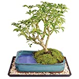 Brussel's Dwarf Hawaiian Umbrella Bonsai Tree in Water Pot – Large (Indoor) with Humidity Tray & Deco Rock Review