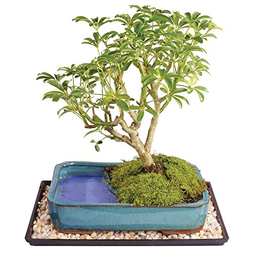 Brussel's Dwarf Hawaiian Umbrella Bonsai Tree in Water Pot - Large (Indoor) with Humidity Tray & Deco Rock