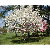 Flowering Dogwood (Cornus florida) 10+ Seeds
