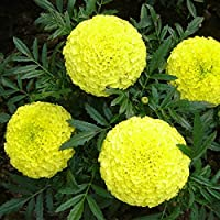 Kraft Seeds Garden Mix of Gainda/African Marigold Flower (Height 30-40 cm, Multicolour, 1000 Pieces)