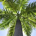 Royal Palm Seeds (Roystonea regia) 15+ Rare Palm Tree Seeds in FROZEN SEED CAPSULES - Plant Seeds Now or Save Seeds for Years