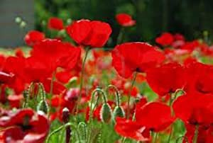 Red Poppy, 100+ Seeds, Worlds Most Popular Flower, Stunning Red Poppies