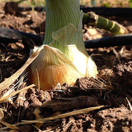 500-seeds-texas-grano-1015y-onion-seedsallium-cepa-springsummer-or-fallshort-day