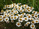 German Chamomile - 5000 Seeds - Organically Grown - NON-GMO
