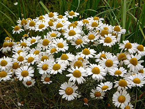 (German Chamomile - 5000 Seeds - Organically Grown - NON-GMO)