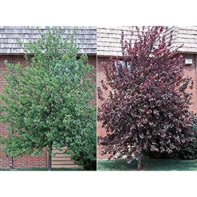 Live Plant 6-12 Inch Red Choke Cherry Tree Plant Outdoor BV62-NR : Garden & Outdoor