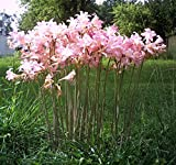 Fresh - Seeds - AGAPANTHUS African Lily pink (10)