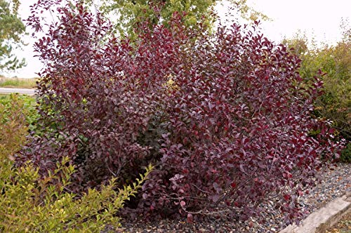 Prunus cistena (Purpleleaf Sandcherry) Shrub, #3 - Size Container by Green Promise Farms (Image #5)