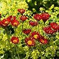 Orange Fleabane Daisy,50 Seeds Orange Daisy Like Flowers with Yellow Centers.