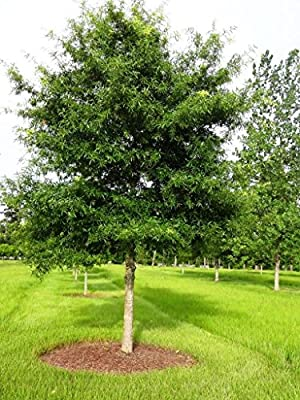Willow Oak Tree Quercus phellos Heavy Established Roots 1 Trade Gallon Pot - 1 plant by Growers Solution