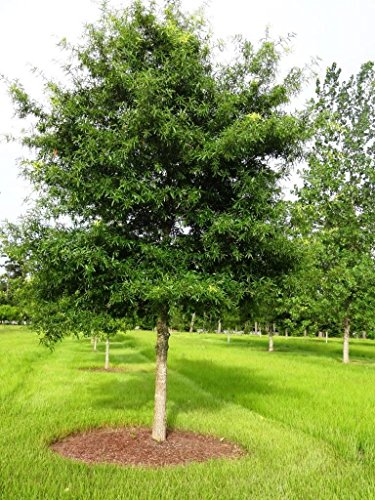 willow-oak-tree-quercus-phellos-heavy-established-roots-1-trade-gallon-pot-1-plant-by-growers-soluti