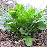 Rumex Patientia Seed DIY Home Garden Household Potted Plants Bonsai Herb Flower The Germination Rate 95% 120 Pcs / Bag