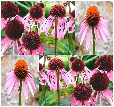 Pale Purple Cone-flower Flower Seeds - Echinacea pallida - Pink Coneflower - Perennial In Zones 4 - 9