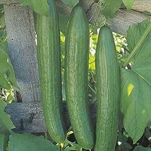 Cucumber Plants – Telegrafo – 3 plantas en macetas de 9 cm